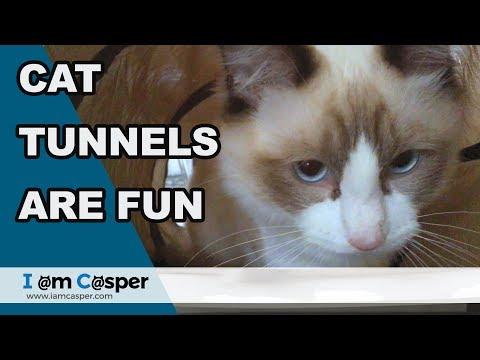 Ragdoll cats - Binx playing in cat tunnel