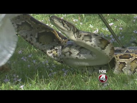 FWC gives lessons on how to catch a python