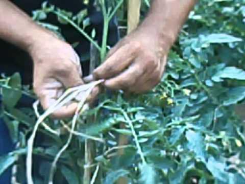 Tutori e legature delle piante doovi for Scacchiatura pomodori