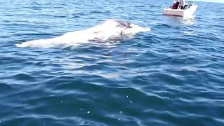 Great White shark feeding on a whale. long version