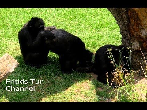Chimp Life - Chimpanzee