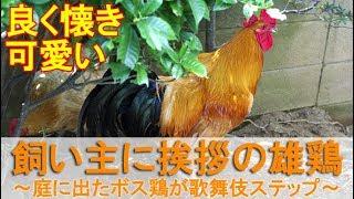 """2018年8月中旬の朝。 雄鶏""""夏""""が庭でボス役を務めるの日です。 丸一日を..."""
