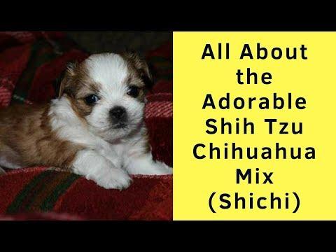 All About the Adorable Shih Tzu Chihuahua Mix (Shichi)