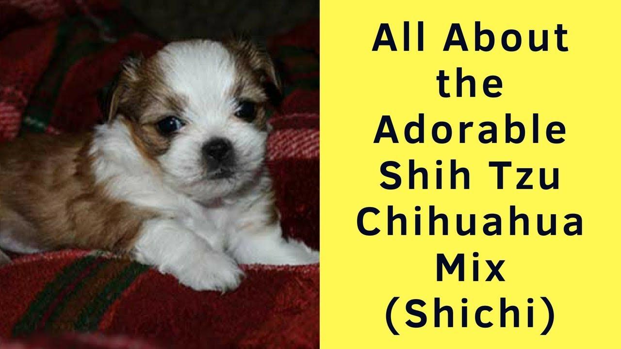 All About The Adorable Shih Tzu Chihuahua Mix Shichi