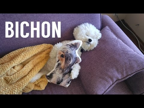 C.Z. the Bichon does amazing Dog Tricks