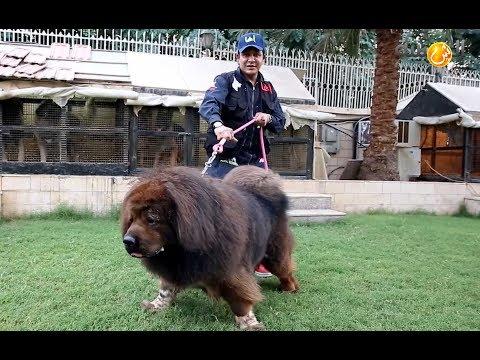 بالفيديو .. عُماني يشتري كلباً بـ 8 آلاف ريال ويمتلك أغلى سلالات الكلاب وأشهرها عالمياً