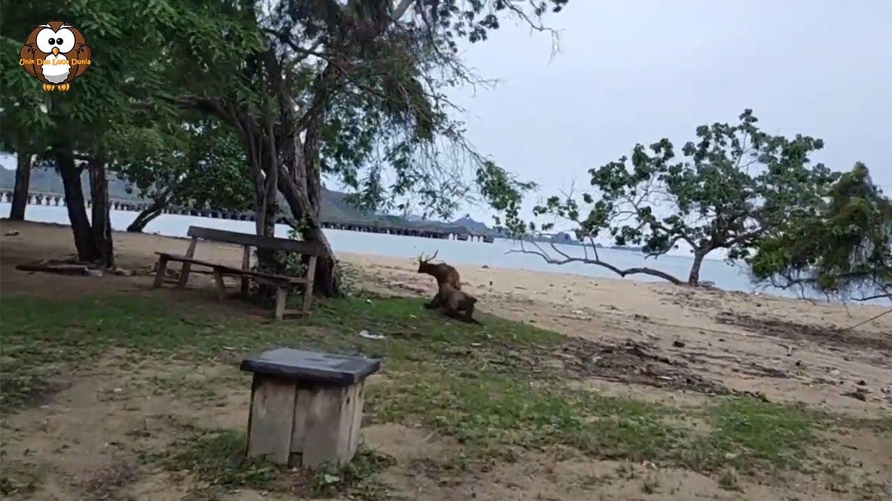 Melihat Rusa di Hadapannya, Seekor Komodo Dragon Tiba-Tiba Langsung Menyerrang Dengan Saddis!!
