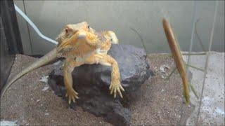 トカゲ達にカマキリを見せると・・・ Lizards vs Mantis thumbnail