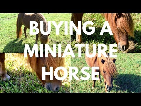 7 Things To Know BEFORE Buying A Miniature Horse