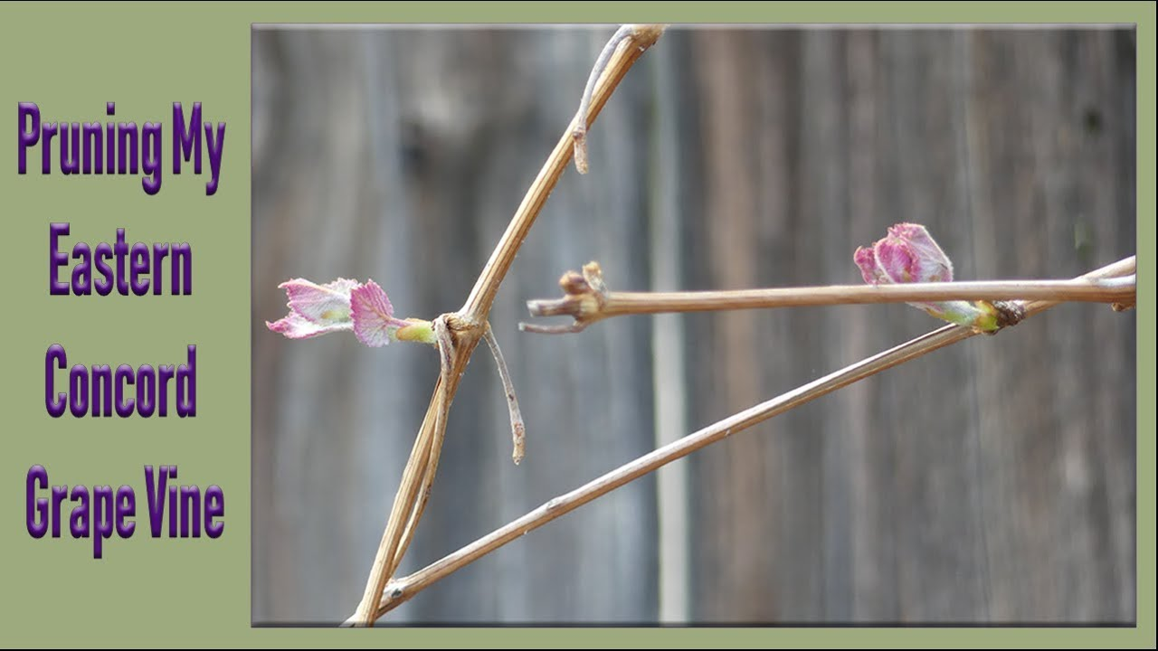 Pruning My Eastern Concord Grape Vine Youtube
