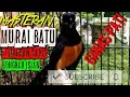 Murai Batu Ganas Pati  Mp3 - Mp4 Download