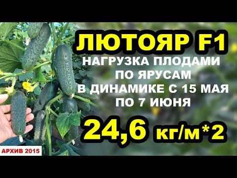 Огурец Лютояр F1. Нагрузка плодами по ярусам, 24,6 кг/м*2