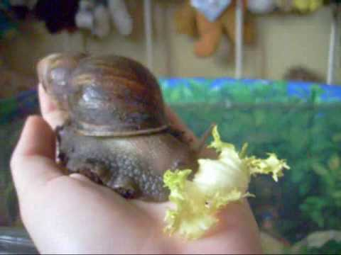 How to care for giant african land snails