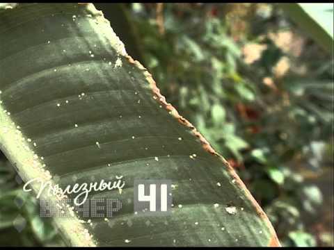 Щитовка вредитель на комнатных растениях
