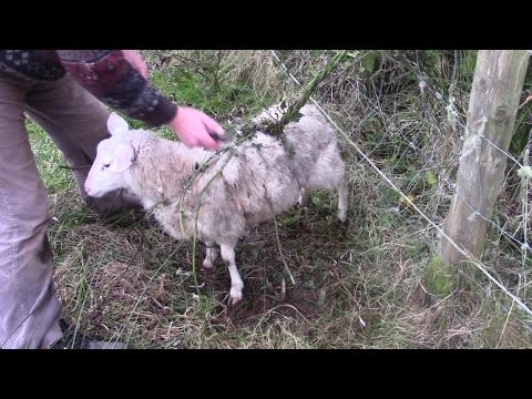 Worlds Biggest Carnivorous Plant Catches Whole Sheep!