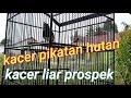 Kacer Pikatan Hutan Masih Liar Prospek  Mp3 - Mp4 Download