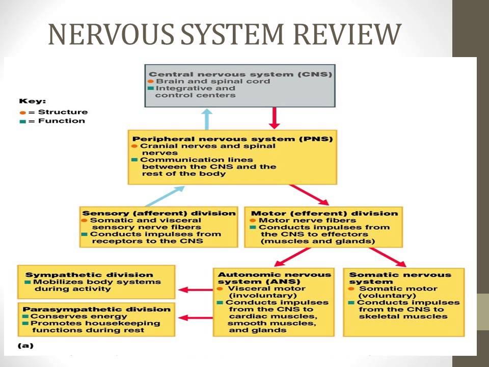 Upper Extremity Impairments - Development of Dermatomes ... Upper Extremity Myotomes