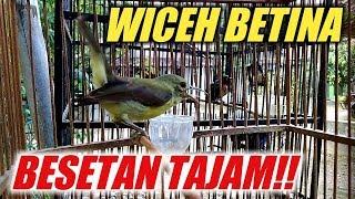 TERNYATA BEGINI KALO WICEH BETINA SUDAH GACOR   FULL BESETAN