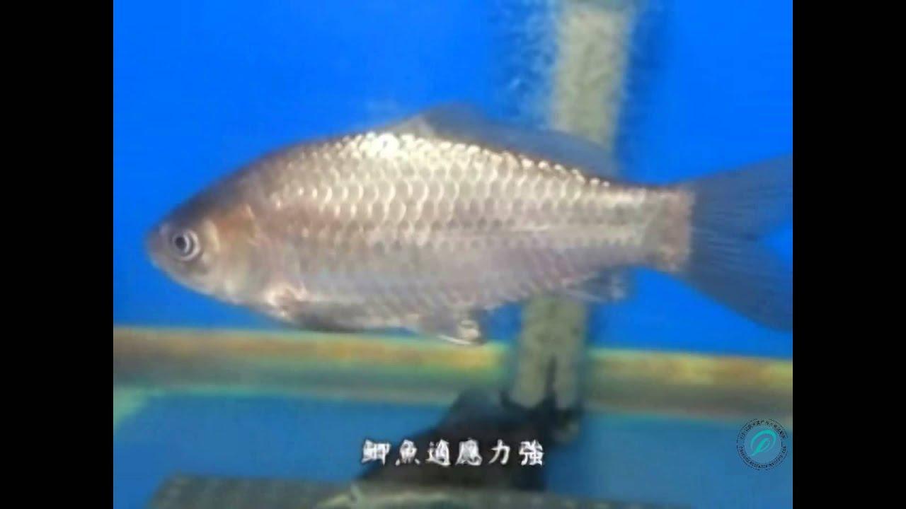 鯽魚 - YouTube