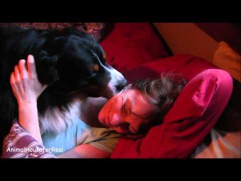 Bernese Mountain Dog Wet Wake Up