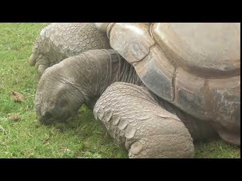 Twycross Zoo - another Giant Tortoise