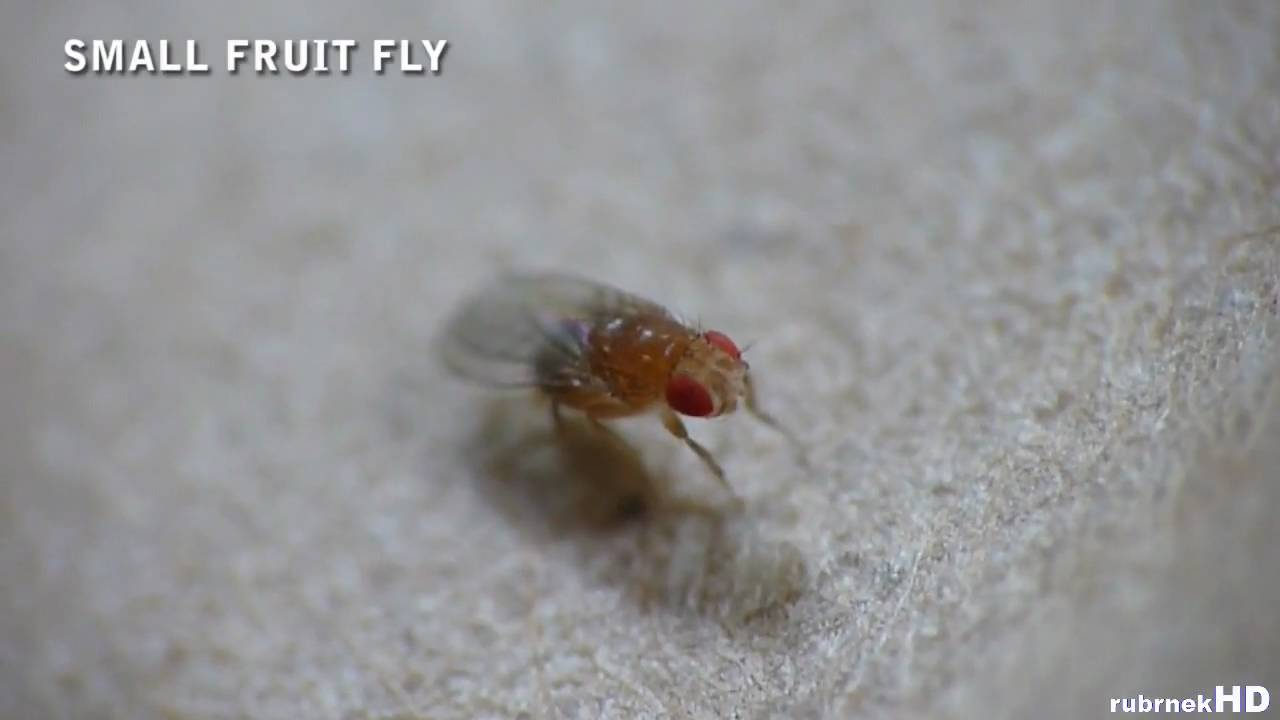 small fruit fly super macro youtube. Black Bedroom Furniture Sets. Home Design Ideas