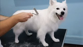 FULL GROOM German Spitz Bath And Undercoat Removal