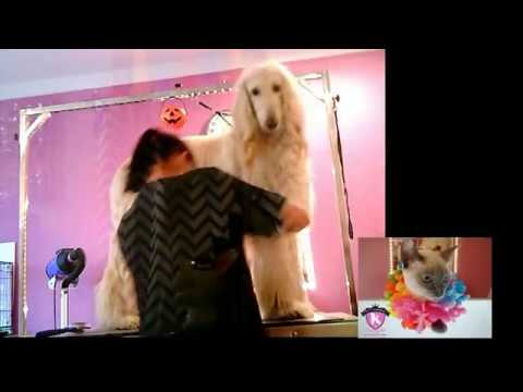 Afghan Hound (Galgo Afegão) Grooming Dog - Pet's Glamour