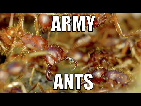 Army ants eat my foot. - Biodiversity Shorts #16