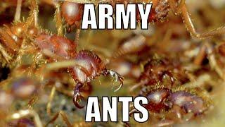 Army ants: Cheliomyrmex - Biodiversity Shorts #16