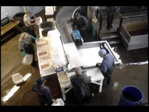 Processing Salmon At The Salmon River Fish Hatchery In Altmar, NY