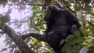 Download Video Mother chimpanzee protects her cute babies from other suspicious monkeys - BBC wildlife MP3 3GP MP4
