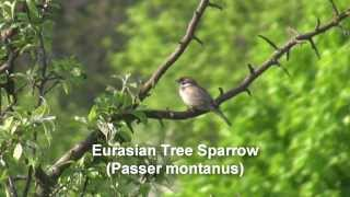 Birds of Poland - Sparrows, Finches & Buntings