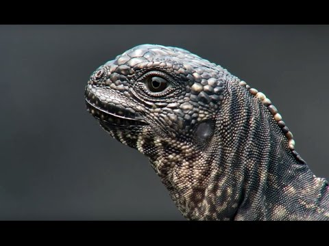 Iguana vs Snakes - Planet Earth II