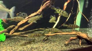Интерактивный аквариумный туризм №22(Рубрика, куда вы присылаете свое видео и описание аквариума, а мы делаем из этого выпуск. Тема для Заявок:..., 2015-01-21T19:08:15.000Z)