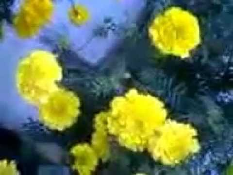 Cultivation and uses of Marigold or Tagetes
