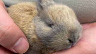 あまりにも小さいウサギの赤ちゃん Baby rabbit too small【こっタソの自由気ままに】