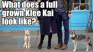 What do toy Alaskan Klee Kai look like full grown?