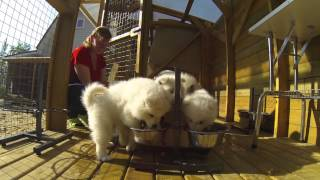 Щенки самоедской собаки, питомник Ристикент #3