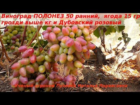 Виноград ПОЛОНЕЗ 50, крупные грозди и ягоды, ранний, вкусен, с плотной мякотью. (Пузенко Наталья)