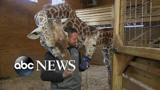 connectYoutube - April the giraffe might be pregnant again