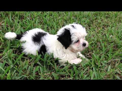 Beautiful Black And White Maltese Shih Tzu Pups For Sale