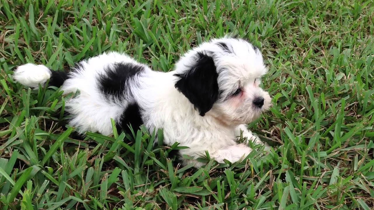 beautiful black and white maltese shih tzu pups for sale