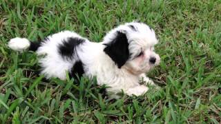 Beautiful Black And White Maltese Shih Tzu Pups For Sale In Florida