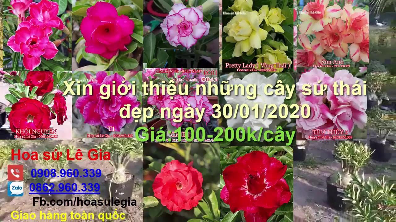 (Đã  hết) 30/01/20 –  Khai lộc nhận ưu đãi, nay con có 24 cây sứ thái đẹp 100-200k. LH: 0908.960.339