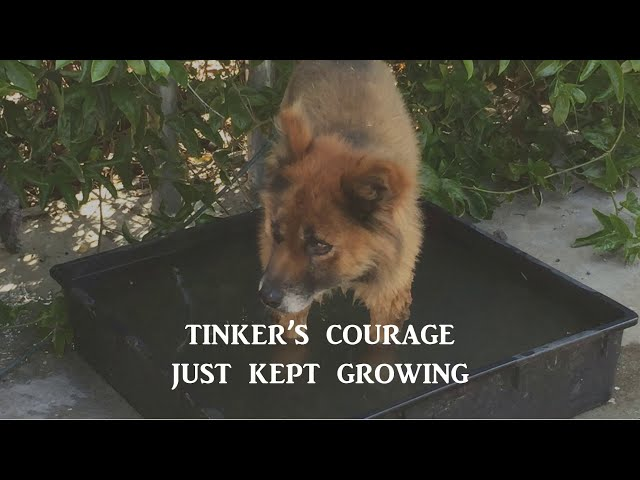 THE AMAZING TINKER – THE LITTLE DOG WHO OVERCAME HIS FEAR