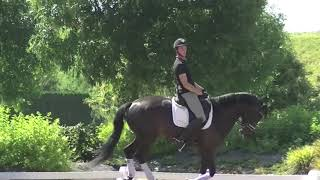 ***KASPAROV 5 y old dressage KWPN gelding by Governor for sale
