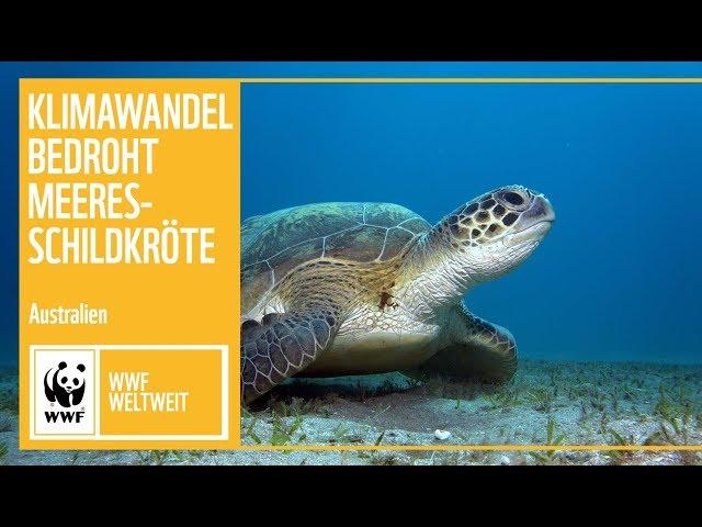 Klimawandel bedroht Grüne Meeresschildkröte