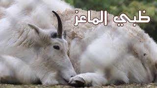 الحيوانات - ظبي الماعز