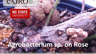 Rose Agrobacterium species Infection